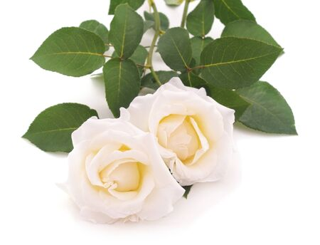 Bouquet of white roses isolated on a white background.