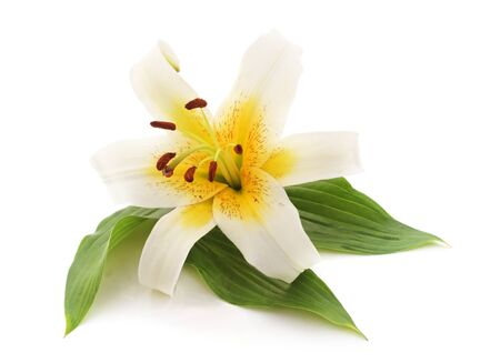 One white lily isolated on a white background.