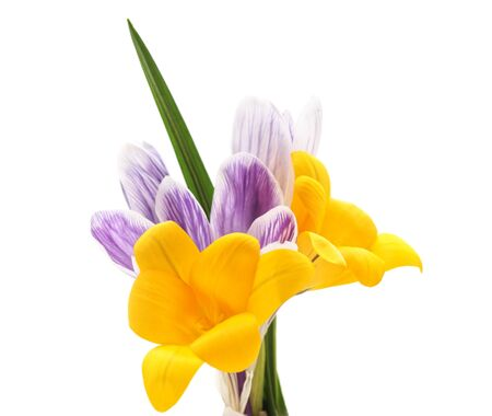 Group of yellow and purple crocuses isolated on a white background.
