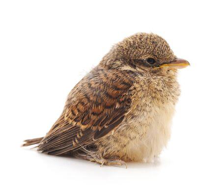 Kleiner wilder Vogel isoliert auf weißem Hintergrund.
