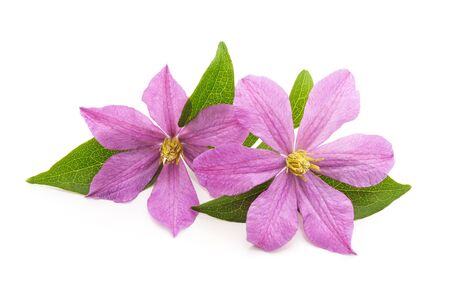 Bouquet of purple clematis isolated on a white background.