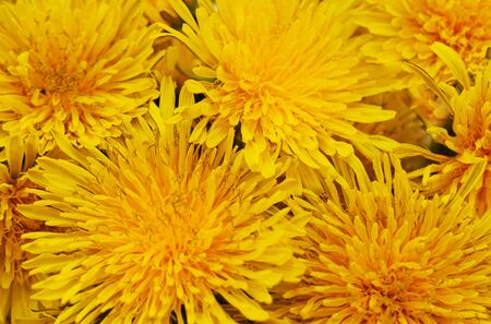 Bouquet of yellow dandelions forming the background.