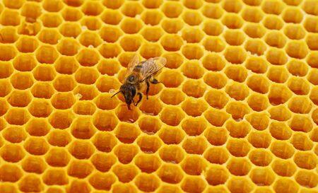 One bee on yellow honeycomb with honey.