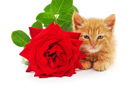 Brown kitten and red rose isolated on a white background.