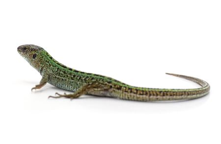 One green lizard isolated on a white background.