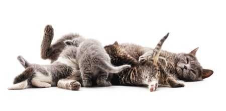 Cat feeds kittens isolated on a white background.