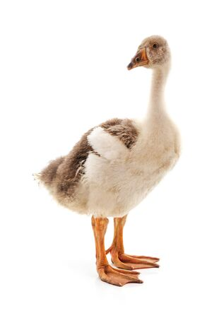 One gray goose isolated on a white background. 스톡 콘텐츠