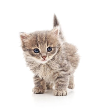 Cat is walking isolated on a white background.