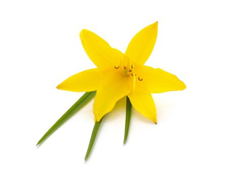 Flowers yellow narcissus isolated on a white background. Imagens