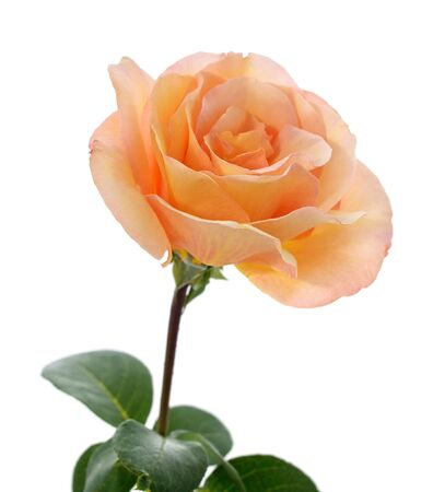 One orange rose isolated on a white background.