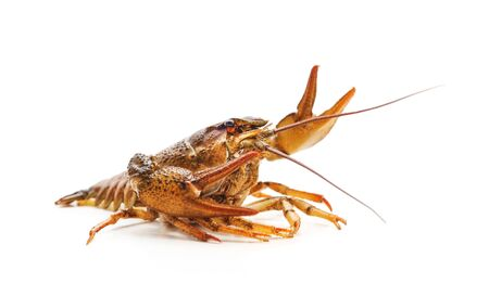 One river crayfish isolated on a white background.
