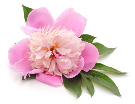Pink beautiful peony isolated on a white background.