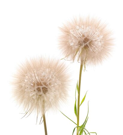 Two large blowball isolated on a white background.