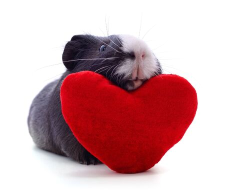 Guinea pig and heart isolated on a white background.