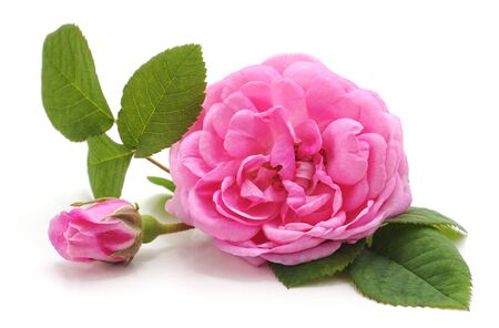 Pink rose and leaves isolated on a white background.