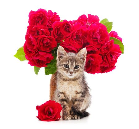 Kitten and red roses isolated on a white background.