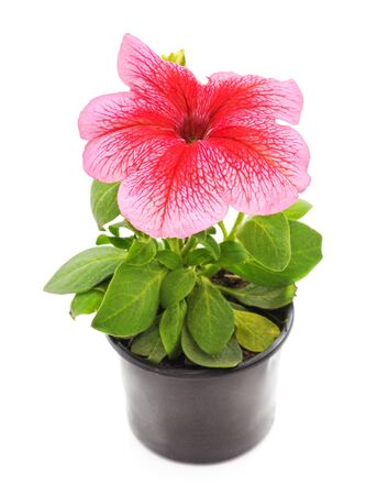 One pink petunia isolated on a white background.