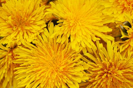 Background of a bouquet of many beautiful yellow dandelions.