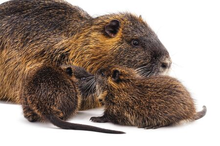 Big nutria with babies isolated on a white background.