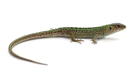 One green lizard isolated on a white background. Foto de archivo - 133506469