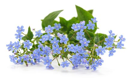 Spring blue forgetmenots flowers isolated on white background.