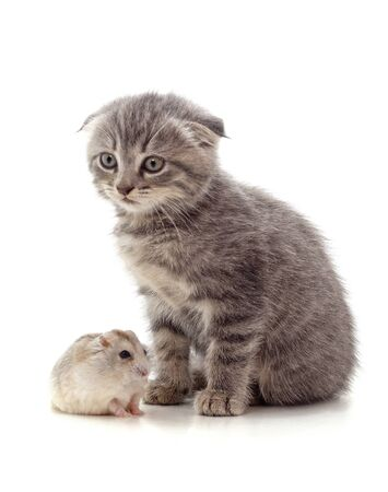 Kitten and hamster isolated on a white background. Reklamní fotografie