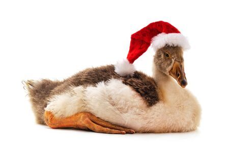 One gray goose in a Christmas hat isolated on a white background.
