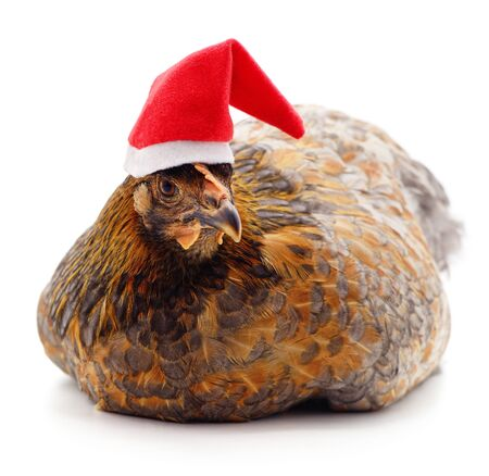 Chicken in Christmas hat isolated on a white background.
