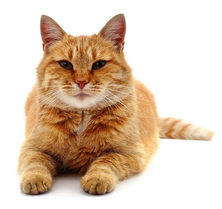 Beautiful red cat isolated on a white background.