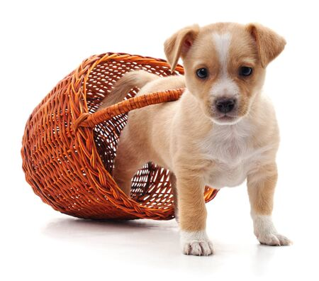 Puppy in a basket isolated on a white background.
