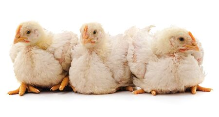 Group of chickens isolated on a white background.