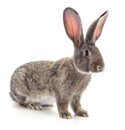 One brown rabbit isolated on a white background. Imagens