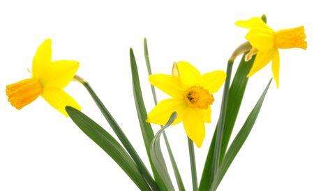 Blüht gelbe Narzisse auf einem weißen Hintergrund.