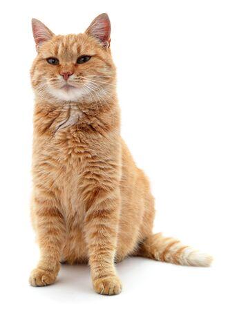 Beau chat rouge isolé sur fond blanc.