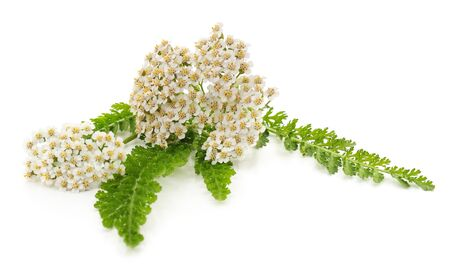 Green leaves of yarrow isolated on white background. 版權商用圖片