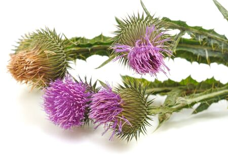 Thistle with flower and leaves isolated on white background. 免版税图像