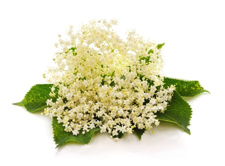 White flowers elderberry isolated on a white background.