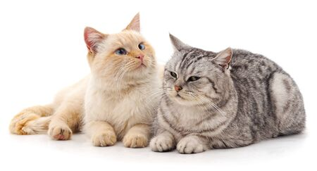 Gatto grigio e bianco isolato su sfondo bianco.