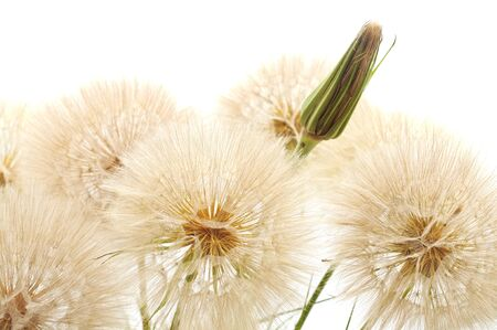 Large fluffy dandelion isolated on a white background. Foto de archivo - 137897420