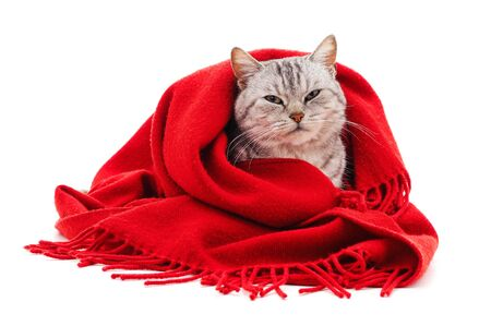 Kitten in a red scarf isolated on a white background.