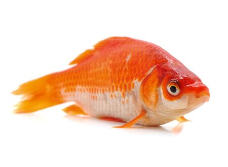 One goldfish isolated on a white background. Banque d'images