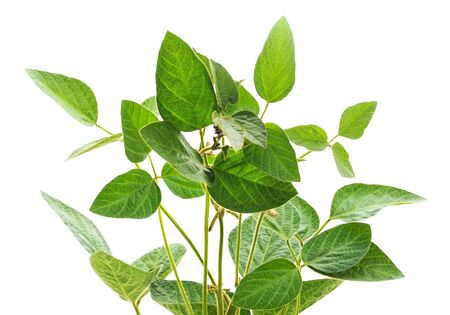 Green soybean stems isolated on a white background.