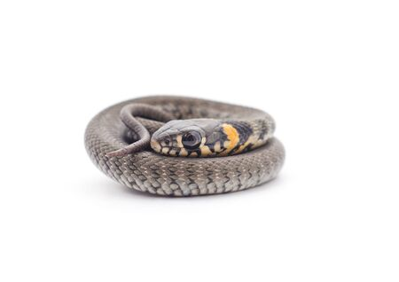 One small reptile isolated on a white background.