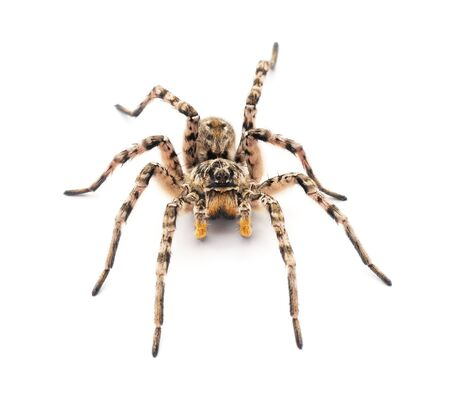 Spider on the rock isolated on a white background. Banque d'images