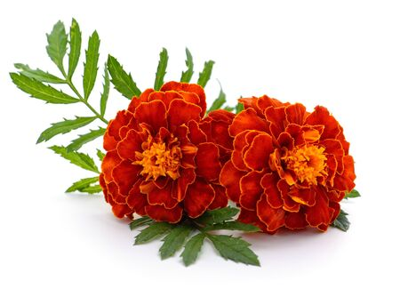 Two orange marigolds isolated on a white background.