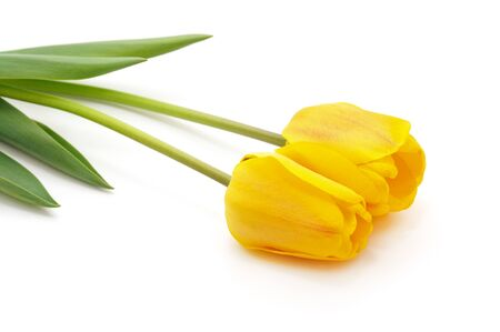 Bouquet yellow tulips isolated on a white background.