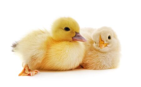 Small chicken and duck isolated on a white background.