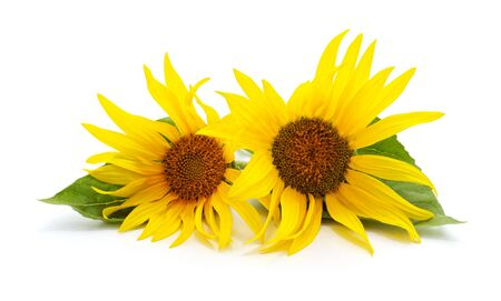 Two sunflowers with leaves isolated on a white background.