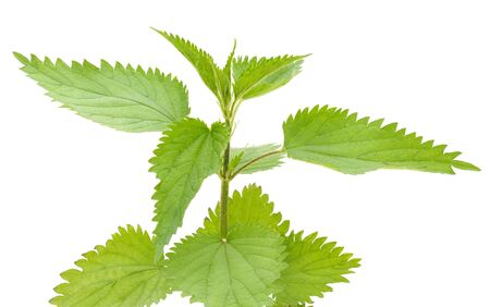 Branch of green nettle isolated on a white background. Standard-Bild