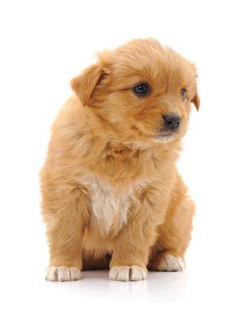 Brown beautiful puppy isolated on a white background. Zdjęcie Seryjne